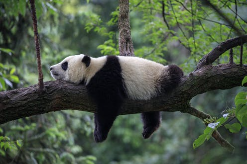 A panda lounging on a tree trunk in forest.