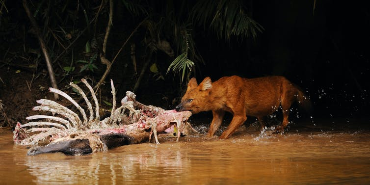 A dhole, or Asian wild dog, tearing at a deer carcass by a river.