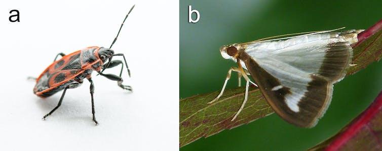 The European Firebug (Pyrrhocoris apterus) and Box Tree Moth (Cydalima perspectalis)