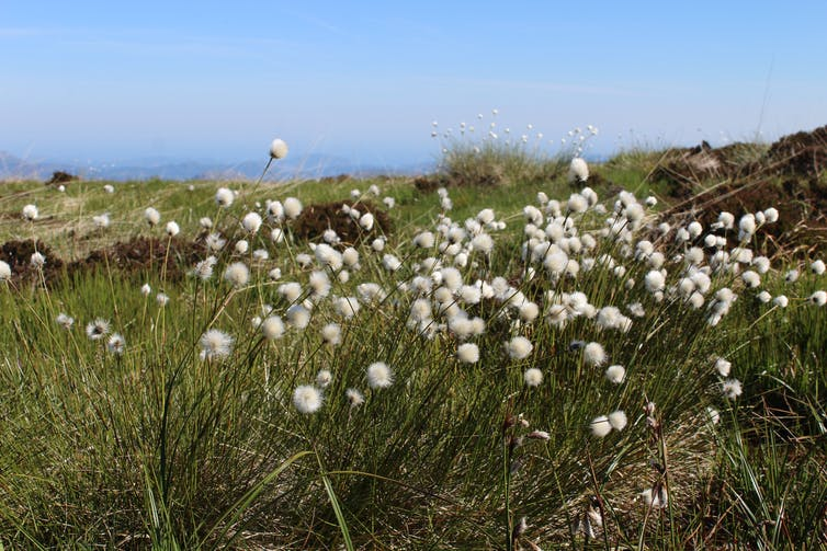 A clump of white cottongrass.