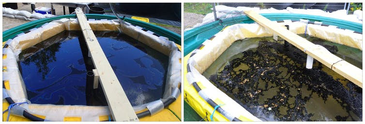 Experimental oil spill containers on day 0 and day 8