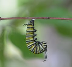 Monarch butterfly caterpillar hanging from leaf
