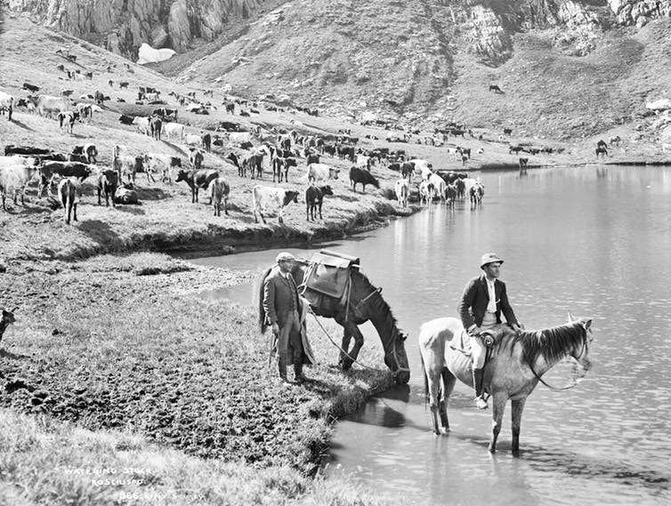Cattle grazing at Club Lake believed to be during the Federation Drought (1897-1903).