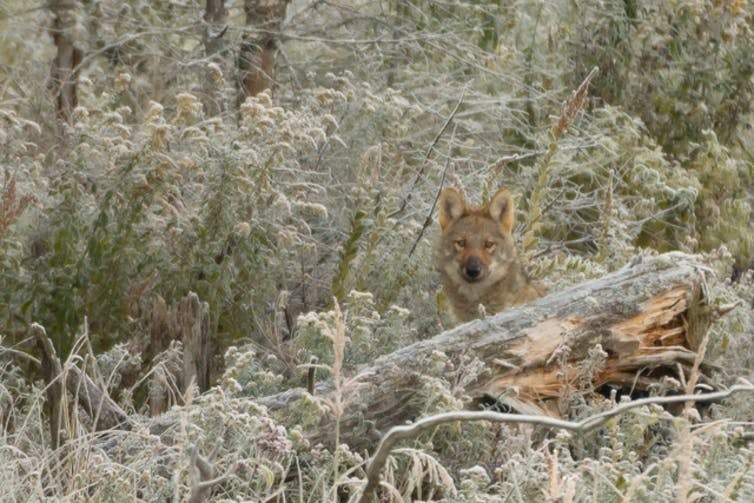 An Algonquin wolf stands among frost-covered plants