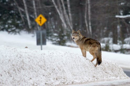 An Algonquin wolf standing in a snowbank near a road