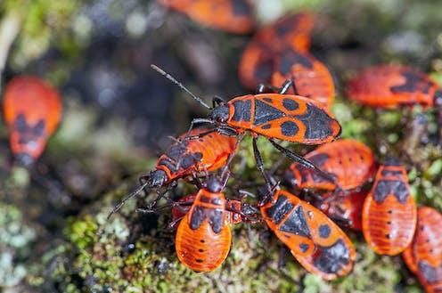 European firebugs on a tree