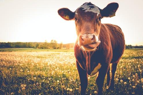 Brown cow in flower-filled meadow