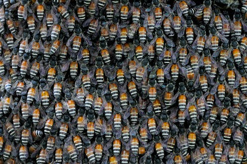 The orange and black-and-white banded abdomens of giant honey bees converge in a swarm.