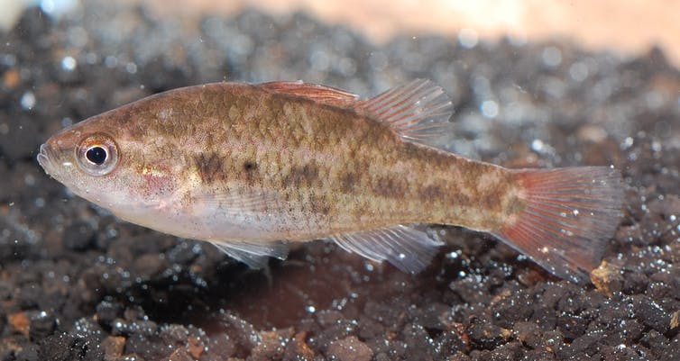 Australia's smallest fish among 22 at risk of extinction within two decades
