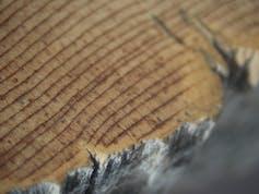Close-up of bristlecone pine tree rings.