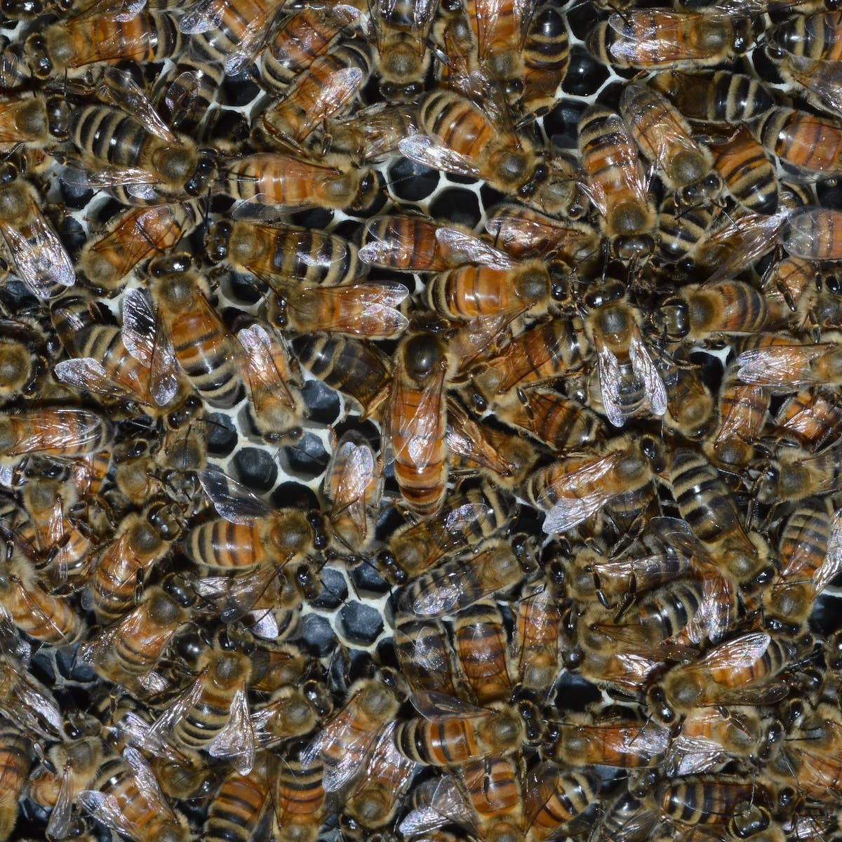 Honey bees can't practice social distancing, so they stay healthy ...
