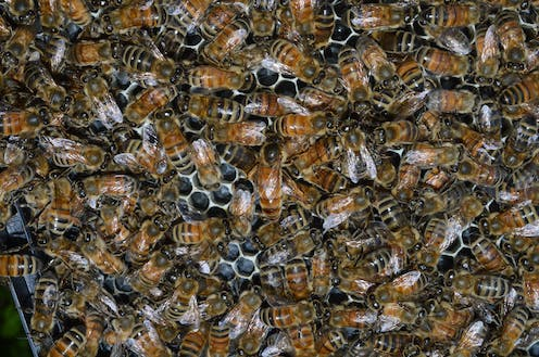 honey bees closely packed together inside a hive.