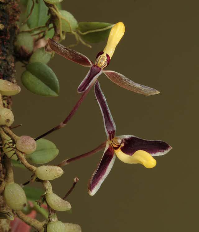 A purple and yellow orchid