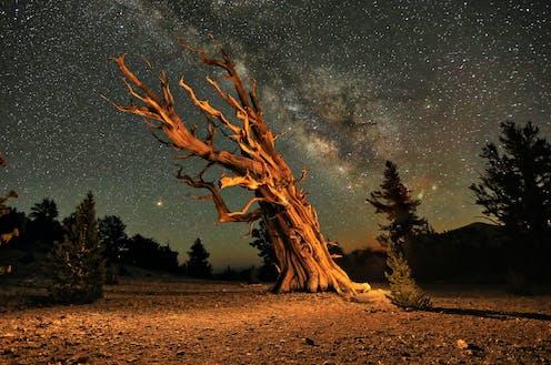 A bristlecone pine tree under a starry sky.