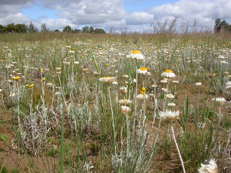 Hundreds of daisies grow among the grasses.
