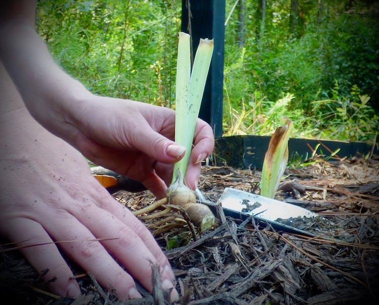 Mãos trabalhando no solo e plantando uma íris.