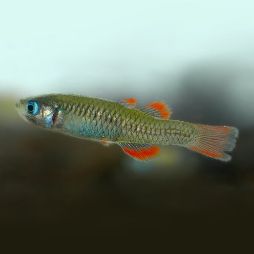 Close-up of the red-finned blue-eye, which has bright blue eyes and orange-fringed fins.