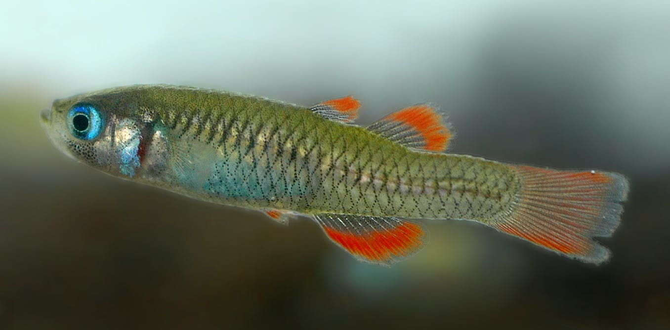 Australias smallest fish among 22 at risk of extinction within two decades