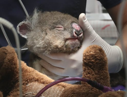 A young koala recovering from injuries is nursed.