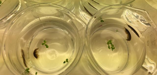 Ejemplares de Gammarus duebeni en el laboratorio