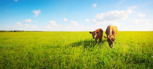 Una vaca y un ternero pastando en un campo verde.