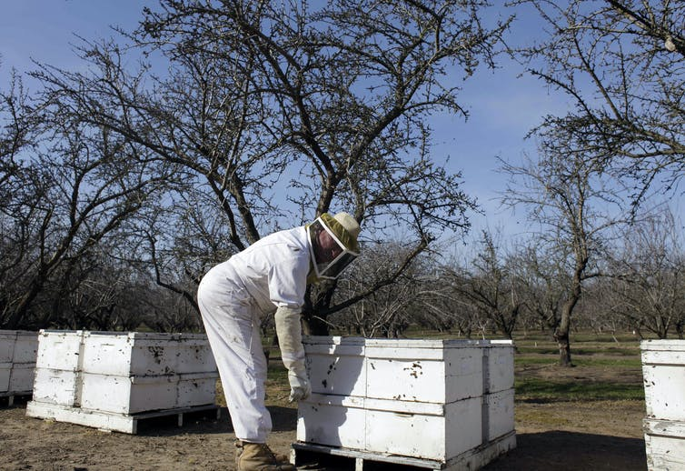 Beekeeper in protective suit check hives in a California almond orchard.