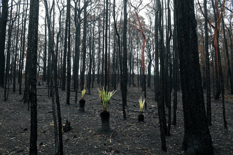 Three blackened stumps with bright green fronds unfurl among burnt trees.