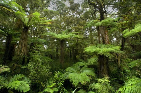 Tree ferns creating a lush green understory of a forest
