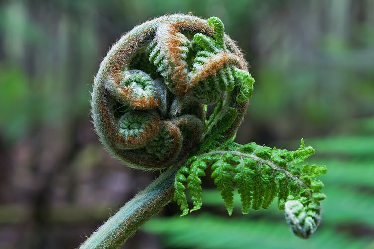 A shoot of the _Dicksonia antarctica_, ready to unfurl.