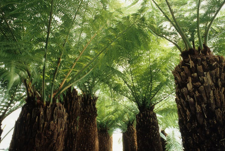 tall tree ferns with thick trunks.