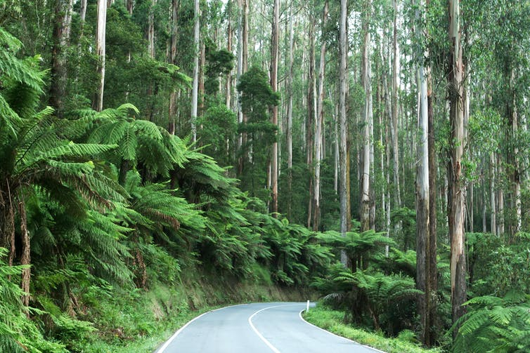 A road cuts through a forest with tree ferns either side
