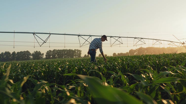 A farmer inspecting crops.