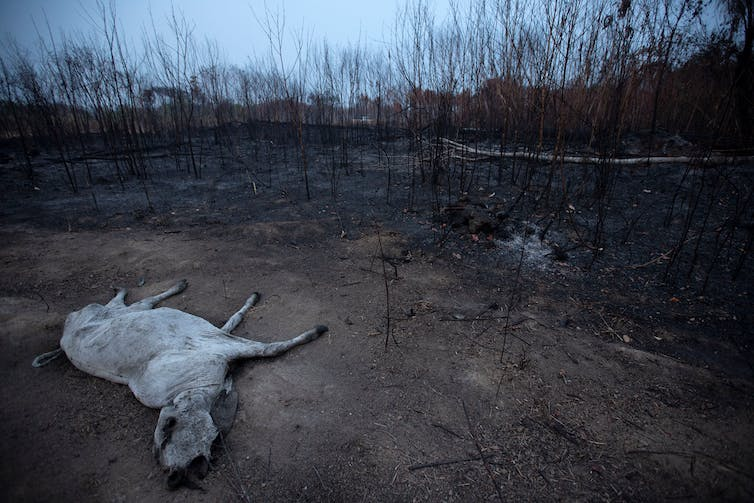 A dead cow lies on scorched land.