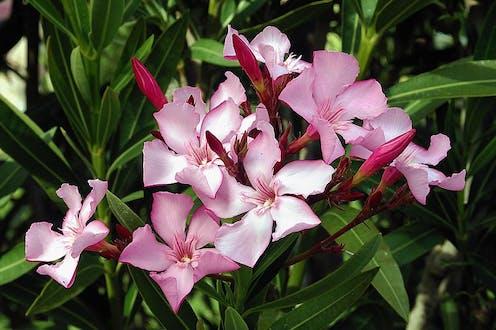 Pink oleander in bloom.