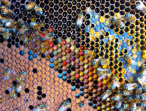 A beeswax frame with worker bees and all sorts of coloured pollen