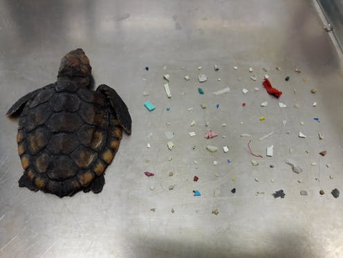 Dead hatchling sea turtle on tray with dozens of plastic fragments