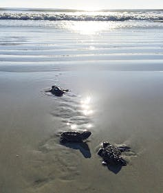 Three baby sea turtles crawl toward a sunlit ocean.