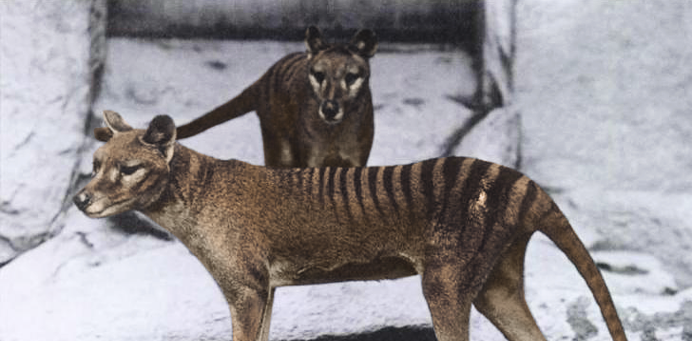 Tassie tiddler? The thylacine was hunted to extinction as a large predator – but it was only half as heavy as we thought