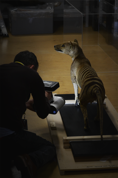Man taking a scan of a stuffed thylacine