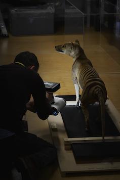 Man taking a scan of a stuffed thylacine