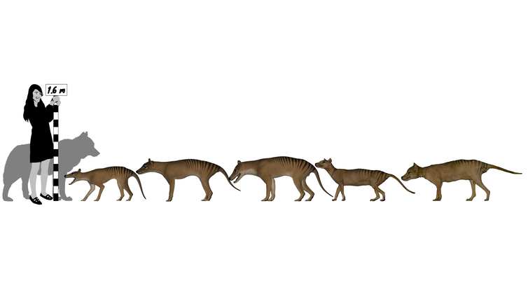 Graphic showing the size of thylacines relative to a woman
