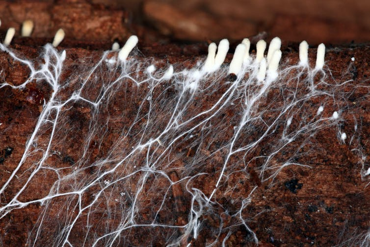 A root-like mycelium structure grows underground.