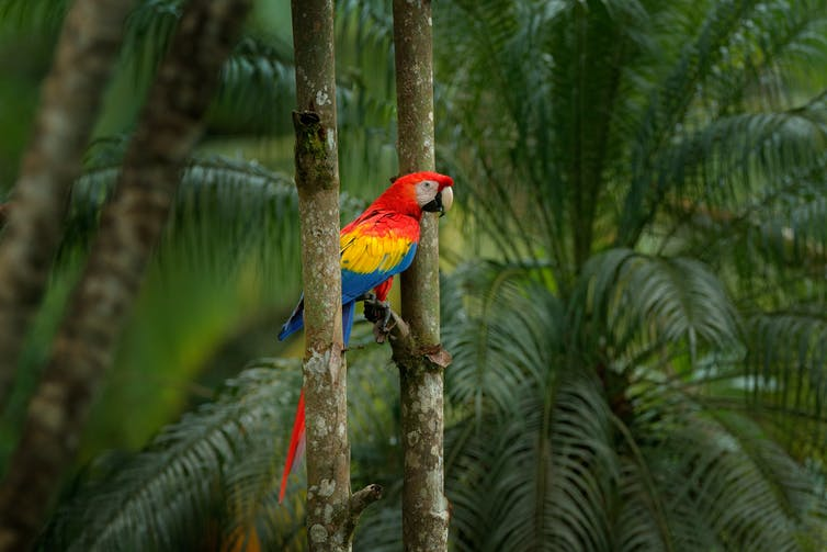 Red macaw parrot in jungle