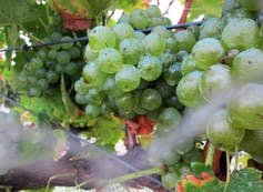 Wine grapes growing on a vine