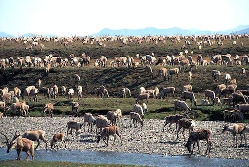 Caribou grazing on Arctic coastal plain.