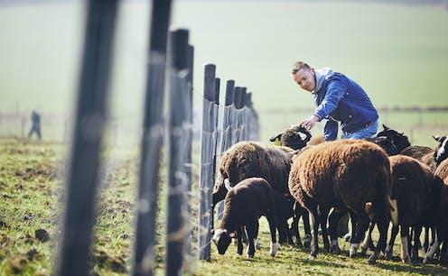 A farmer feeds brown sheep beside a fence.