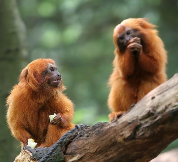 Two golden lion tamarin monkeys sat on a branch eating