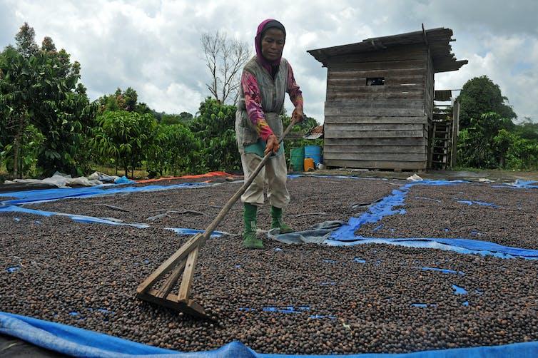 Warga menjemur biji kopi robusta di kawasan penyangga Taman Nasional Kerinci Seblat (TNKS), Desa Durian Rambun, Muara Siau, Merangin, Jambi