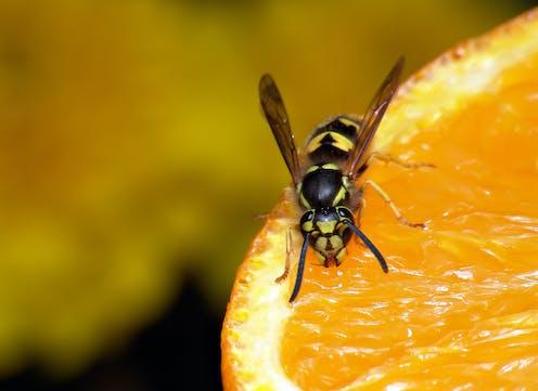Wasp on fresh orange.