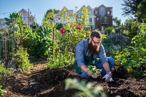 A man pulls up a beetroot in a city allotment.
